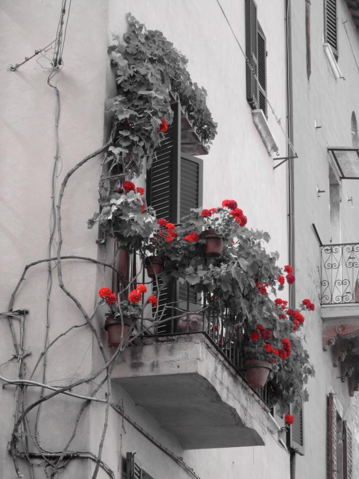 Geranium balcony Perugia