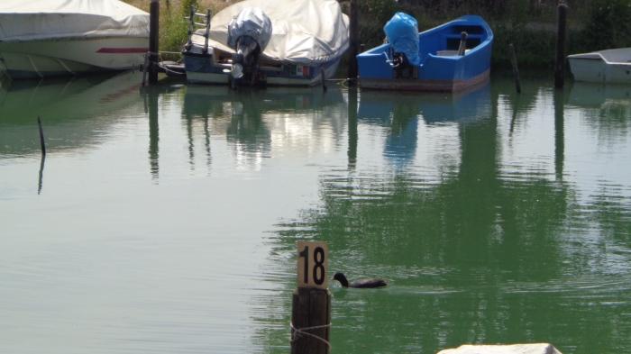 swimming duck on trasimeno